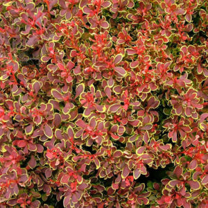 Барбарис тунберга (Berberis thunbergii Golden Ruby P9 20-30)