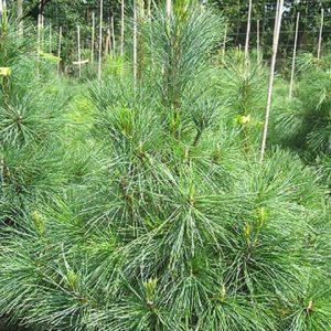 Сосна румелийская/балканская (Pinus peuce P9 15-20)