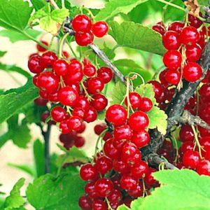 Смородина красная (Ribes rubrum Ненаглядная C3)