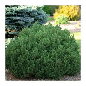 Сосна горная (Pinus mugo Mops P9)