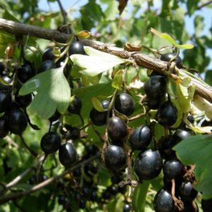 Йошта (Ribes C3 40-60)