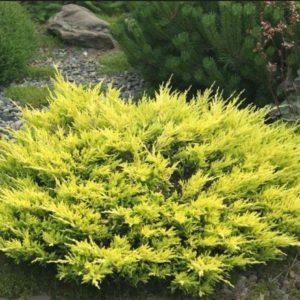 Можжевельник горизонтальный (Juniperus horizontalis Limeglow P9 15-20)