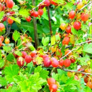 Крыжовник обыкновенный (Ribes uva-crispa Щедрый C3)