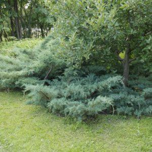 Можжевельник средний (Juniperus pfitzeriana Pfitzeriana Glauca P9 15-20)