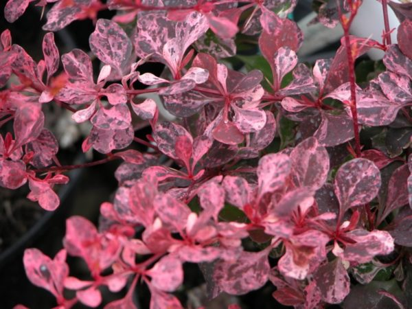 Барбарис тунберга (Berberis thunbergii Pink Queen P9 15-20)