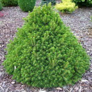 Можжевельник виргинский (Juniperus virginiana Grey Owl P9 15-20)