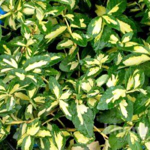 Бересклет Форчуна (Euonymus fortunei Sunspot P9 12-15)