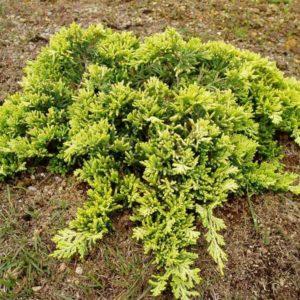 Можжевельник горизонтальный (Juniperus horizontalis Golden Carpet P9 20-30)