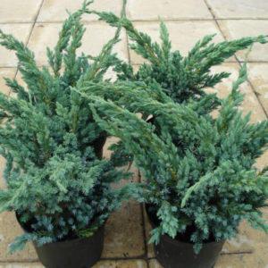 Можжевельник чешуйчатый (Juniperus squamata Meyeri P9 15-20)