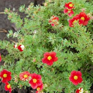Лапчатка кустарниковая (Potentilla fruticosa Marian Red Robin/Marrob P9 15-20)