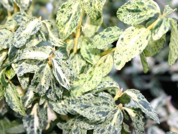 Бересклет Форчуна (Euonymus fortunei Golden Harlequin P9 15-20)