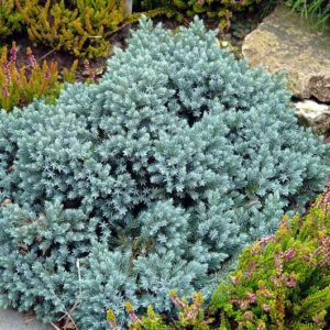 Можжевельник чешуйчатый (Juniperus squamata Blue Star P9 10-15)