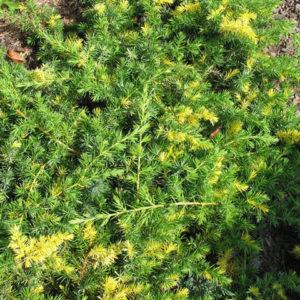 Можжевельник прибрежный (Juniperus conferta Golden Wings P9)