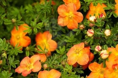 Лапчатка кустарниковая (Potentilla fruticosa Orange Star P9 15-20)