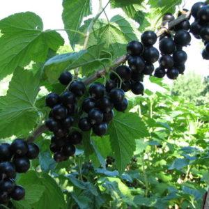 Смородина черная (Ribes nigrum Лентяй C3 40-60)