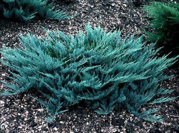 Можжевельник горизонтальный (Juniperus horizontalis Blue Chip P9 15-20)