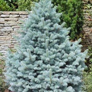 Ель колючая (Picea pungens Glauca Majestic Blue P9)