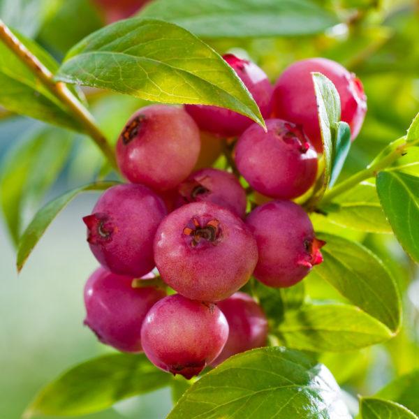 Голубика садовая (Vaccinium corymbosum Pink Limonade C3)