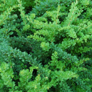Барбарис тунберга (Berberis thunbergii Green Carpet P9 15-20)
