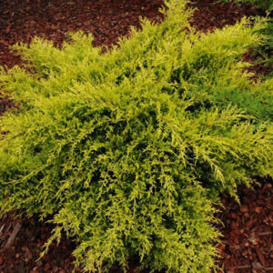 Можжевельник средний (Juniperus pfitzeriana Old Gold P9 15-20)