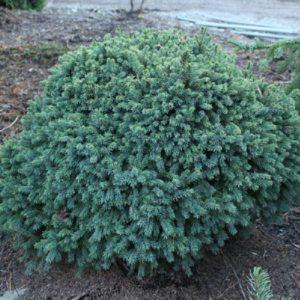 Ель сизая/канадская (Picea glauca Echiniformis P9 15-20)
