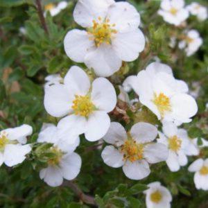 Лапчатка кустарниковая (Potentilla fruticosa Snowflake P9 15-20)