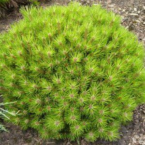 Сосна черная (Pinus nigra Bambino P9 PA 30)