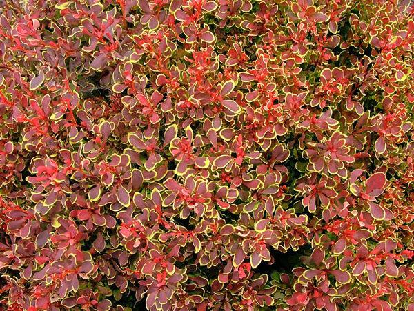 Барбарис тунберга (Berberis thunbergii Golden Ruby P9 20-30)