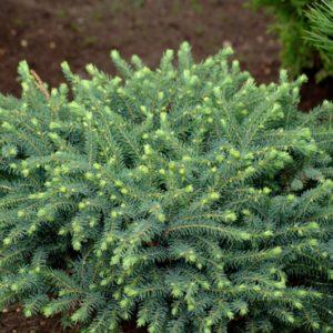 Ель чёрная Нана (Picea nigra Nana)