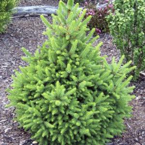 Ель обыкновенная (Picea abies Will's Zwerg ) штамб
