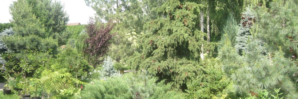 Питомник Сосны: хвойные, плодовые,  декоративные деревья и кустарники Каталог растений 2020